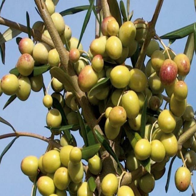 arbosona bodur zeytin fidanı